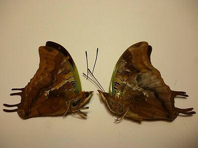 Real Dried Insect/Butterfly/Moth Non-Set.B3582 Charaxes antamboulou x 2 Rare