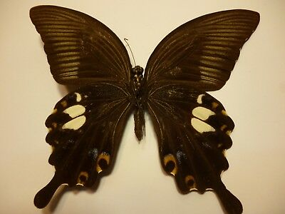 Real Dried Insect/Butterfly/Moth Non-Set.B3729 Large Papilio sataspes