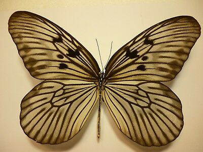 Real Dried Insect/Butterfly Non set B4351 Large Idea blanchardi marosiana