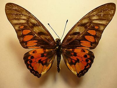 Real Dried Insect/Butterfly/Moth Non-Set..Red/Black Large Graphium ridleyanus