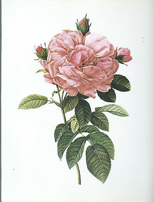 "Pierre Joseph Redoute - ""Gigantic French Rose""- Botanical -Flower Art Print"