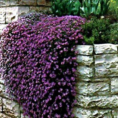 Rock Cress Seeds Cascading Purple - Heirloom Groundcover Seeds Non-Gmo 50ct Pack