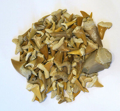 Dents de requin fossiles - Carcharias koerti - Fossil Shark Teeth - 200 g