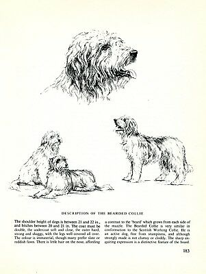 Bearded Collie Vintage 1963 Print Sketch Page Artist Bridget Olerenshaw