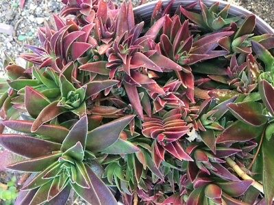 Shark Tooth Succulent  Green/Red Cuttings (2)  Free Shipping + Bonus Cuttings