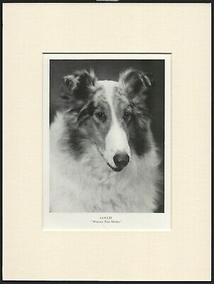 Collie Rough Coated Old Vintage 1930'S Named Dog Print Ready Mounted