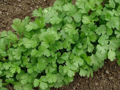 500 Graines de Coriandre Coriandrum Sativum var Slow Bolt, Cilantro Herb seeds
