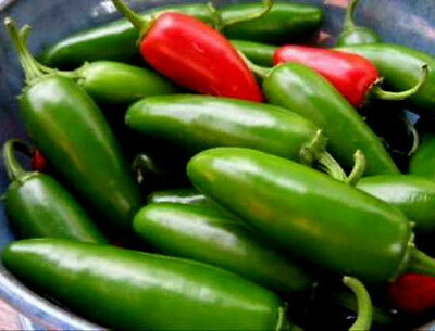 Jalapeno Pepper Seeds, Early Jalapeno, Heirloom Hot Pepper Seeds, Non-Gmo, 100ct