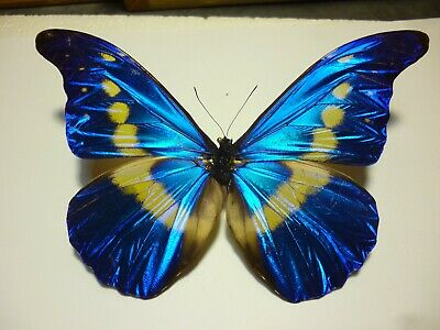 Real Butterfly/Insect Spread B4619 Bright Blue Morpho rethenor helenor 14cm Rare