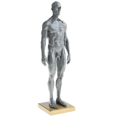 Anatomical Male Muscular and Skin Figure Model Human Anatomy Model (Gray)