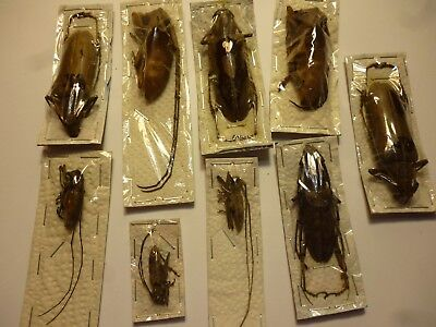 Real Butterfly/Moth/Insects Non Set/Set B4531 Cerambycidae Beetles x 9 Malaya