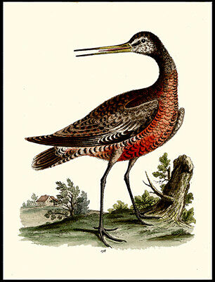 The Red-Breasted Godwit 1750 George Edwards Copper  Engraving Hand-Colored