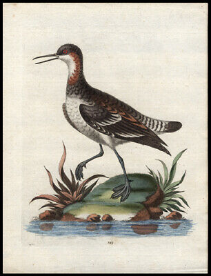 1750 Cock Coot-Footed Tringal George Edwards Copper  Engraving Hand-Colored