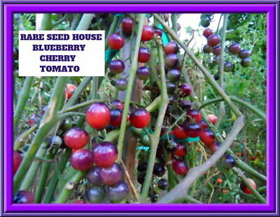 Blueberry Cherry Tomato 20 Seeds Combined S/H See our Store for Rare seeds