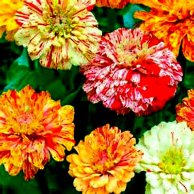 Mix of Candy Cane & Candy Stripe Zinnia Seeds! 4 FT TALL! 25 seeds! Comb.S/H