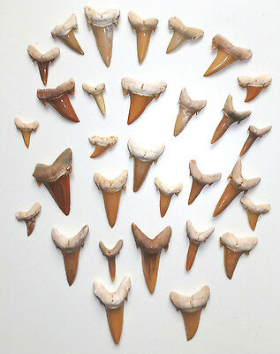 Lot de 30 dents de requin fossiles - Carcharias koerti - 30 Fossil Shark Teeth