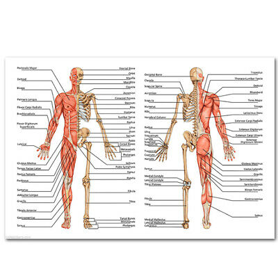 Bone Muscle System Front And Back Poster Anatomical Chart Human Body Medical