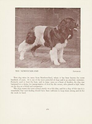 Newfoundland Old Vintage 1934 Named Dog Print