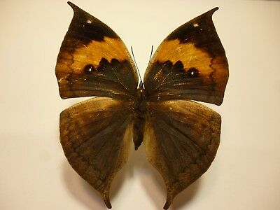 Real Dried Insect//Butterfly Non set B4025 Cymothoe reinholdi  Colourful//Africa