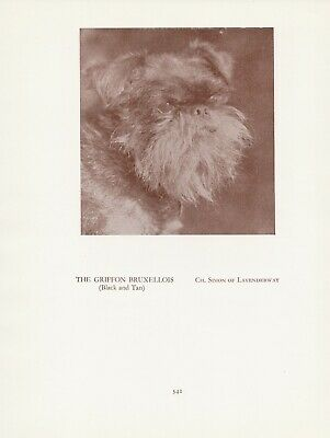Brussels Griffon Old Vintage 1934 Named Champion Dog Sepia Page Print
