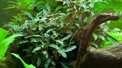 Tropica Bucephalandra sp Red Buce Cherry Crystal Nano Shrimp Safe Aquatic Plant