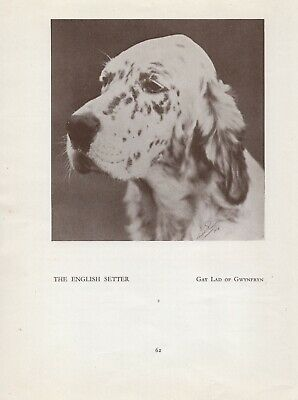 English Setter Head Study Old Vintage 1934 Named Dog Page Print