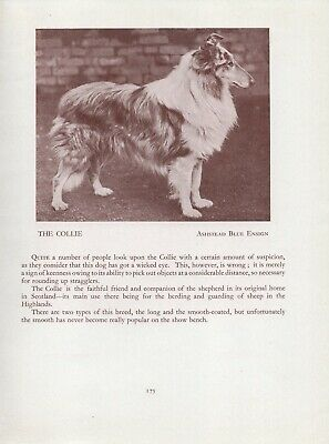 Rough Collie Old Vintage 1934 Named Dog Sepia Page Print