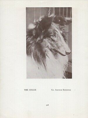 Rough Collie Head Study Old Vintage 1934 Named Champion Dog Sepia Page Print