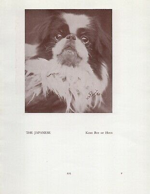 Japanese Chin Head Study Old Vintage 1934 Named Dog Page Print