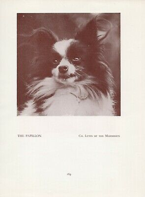 Papillon Head Study Old Vintage 1934 Named Dog Print Page