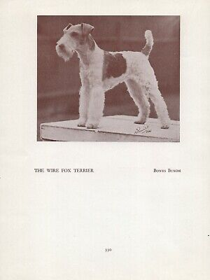 WIRE FOX TERRIER HEAD STUDY OLD ORIGINAL VINTAGE DOG PRINT FROM 1934 BOWES BASIL