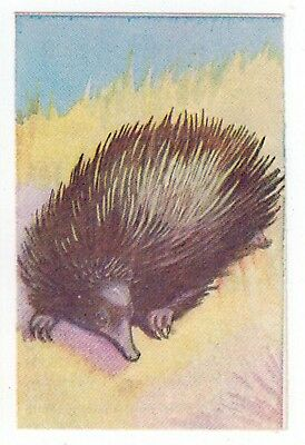Sanitarium Weetbix - Childrens Encycl. (1947) Collector Card - #21 Echidna