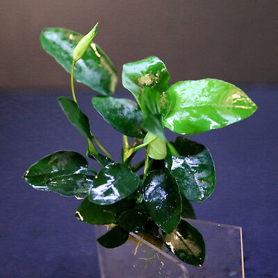 Water Plants Anubias barteri var. nana x120~160 leaves- Live Fish Tank Plant kit