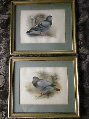 Pair Antique Victorian Pigeon Charles Whymper Chromolithograph Prints Framed