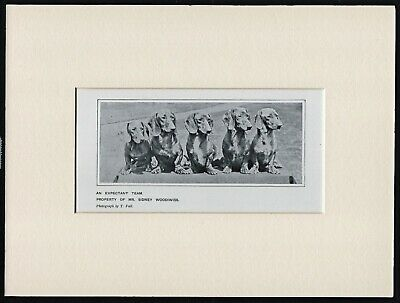 Dachshund Group Old Antique 1912 Dog Print Ready Mounted