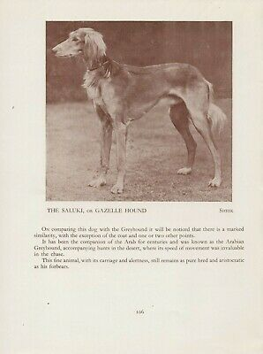 Saluki Gazelle Hound Old Vintage 1934 Named Dog Print Page