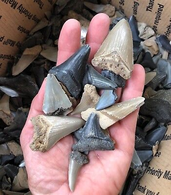 $15 Shark Teeth Lot (20 TEETH) Megalodon Angustidens Mako Great White Hemi