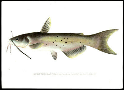 Sherman Foote Denton Chromolithograph The Spotted Catfish Hand-Colored