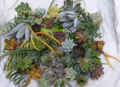 10 Assorted Succulent Cuttings Assorted Varieties