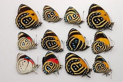 LOT OF 12 MIXED CALLICORE PERISAMA SP. UNMOUNTED A1 BUTTERFLIES 12sp