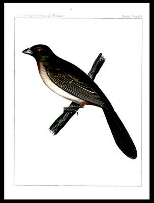 The Canyon Towhee 1859 US Pacific Railroad Surveys Hand-Colored Lithograph