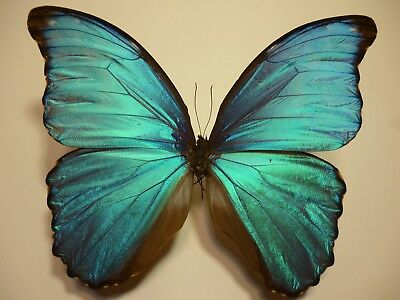 Real Dried Insect/Butterfly Non set B4809 Large Blue Morpho didius Lima/Peru A+A