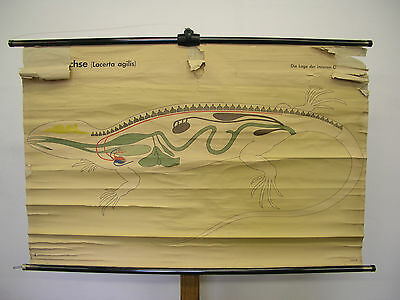 Beautiful Old Schulwandkarte Zauneidechse Dragon Inner Organs 117x75 Vintage~80
