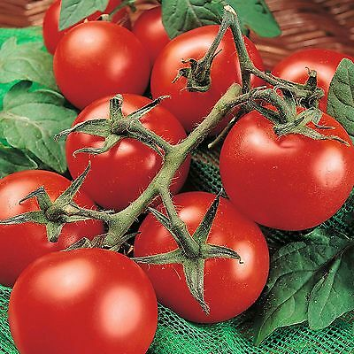 Tomato Seeds Dependable /& Prolific 50ct Non-Gmo Heirloom Tomato Seed Rutger/'s