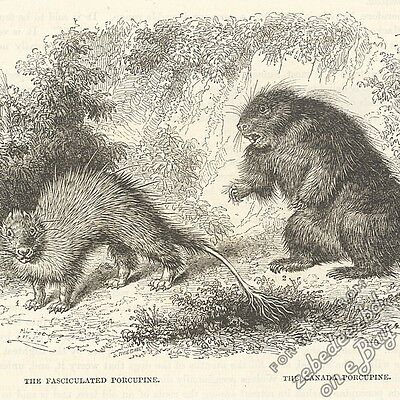 Indian Crested & North American Porcupines: antique 1866 engraving print: rodent