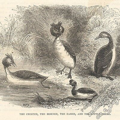 Crested, Horned, Eared & Little Grebes: antique 1866 engraving print bird animal