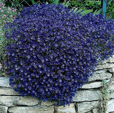 Rock Cress Seeds Cascading Blue - Heirloom Groundcover Seeds Perennial 50ct Pack