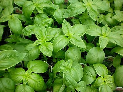 1/4 oz Sweet Basil Seeds, Genovese, Bulk Herb Seed, Heirloom Non-Gmo, about 4000