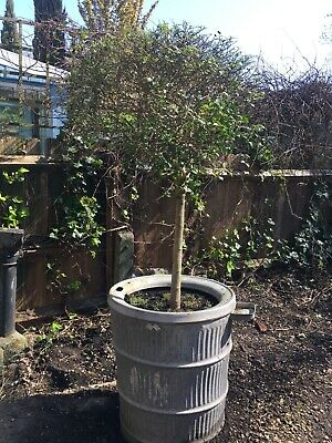 * 140cm tall illet lollipop tree in vinage  galvanised Dolly Tub *