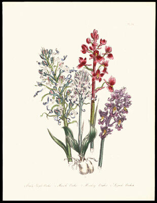 1859 Jane Wells Loudon Hand-Colored LIthograph Marsh & Purple Orchids Botany
